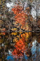 Vibrant autumn tree relected in a pond, East Windsor, New Jersey, USA