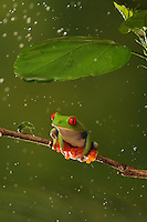 A red eyed tree frog seeks shelter from the rain