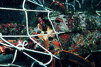 "A ""ghost"" fishing net still catches and kills animals long after it is discarded . Here a California spiny lobster is trapped, California"