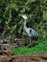 Great Blue Heron (Ardea herodias) [Wild] with mouth open in  Golden Gate Park, San Francisco, California, United States of America