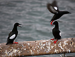 Black Guillemots on the Liffey, Dublin, Tystie, Cepphus grylle