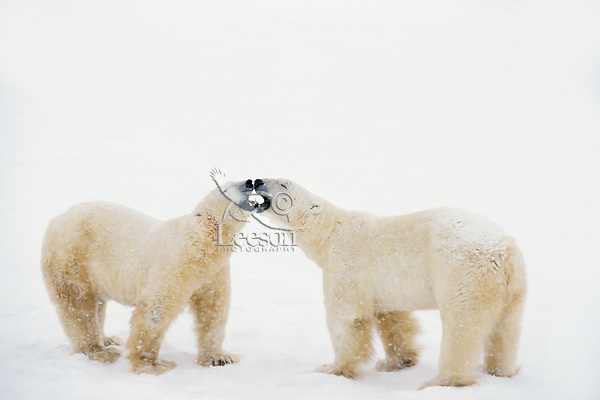 Polar bear (Ursus maritimus) jawing--two males dominance behavior.  Hudson Bay, Manitoba, November.