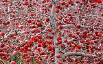 Unharvested apples (Malus pumila) due to a combination of a huge crop and labor shortages, Washington, USA <br /> <br /> Sony ILCE-9, FE 100-400mm F4.5-5.6 GM OSS lens, f/16 for 1/320 second, ISO 1600