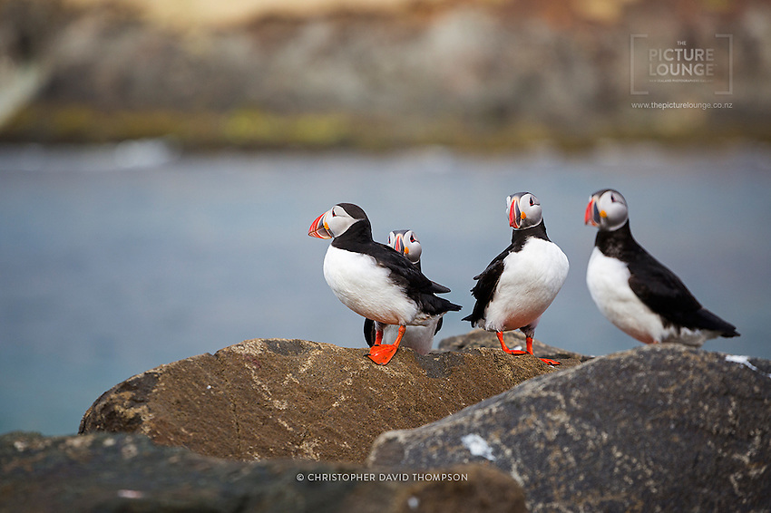 Puffins, the charmingly funny 'sad clowns' make fantastic photographic subjects due to their striking colours and curious nature, captured here in one of Iceland's puffin colonies in East Iceland.