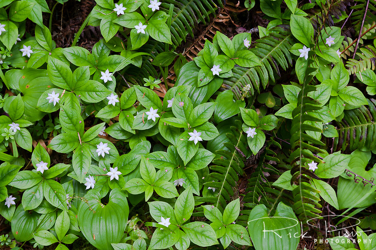 Wildflowers lay on the forest floor at Jedediah Smith State Park on the north coast near Crescent City, California.