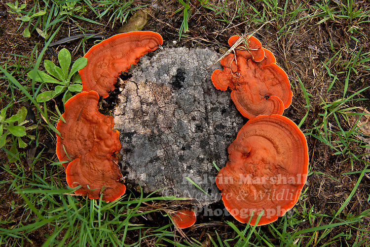 Pycnoporus sanguineus is a plant pathogen. It was discovered on Guana Island, part of the Virgin Islands. Pycnoporus sanguineus is also the biological name of the 'red fungus'. This is a mushroom like plant, which has its name from its red coloring.