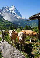 CHE, Schweiz, Kanton Bern, Berner Oberland, Grindelwald: Kuehe auf Alm oberhalb von Grindelwald vorm Eiger | CHE, Switzerland, Bern Canton, Bernese Oberland, Grindelwald: cattle above Grindelwald with Eiger north face
