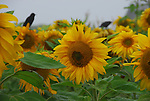 sunflowers and blackbirds