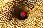 Cocos Barnacle Blenny; Acanthemblemaria atrata