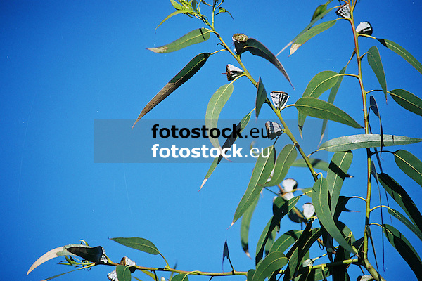 Eucalyptus leaves and fruits against blue sky<br /> <br /> Eucalypto hojas y fruits contra cielo azul<br /> <br /> Eukalyptusbl&auml;tter und Eukaluyptusfr&uuml;chte gegen blauen Himmel<br /> <br /> 3360 x 2240 px<br /> Original: 35 mm