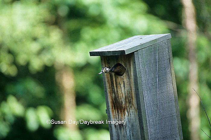 00715-00214 Wood duck (Aix sponsa) female at nest box    IL