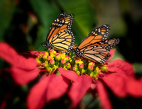 Monarch butterflies on pointsettia flowers. Sun Yat Sen Park, Maui, Hawaii