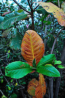 Forest tree leaf. Big Island, Hawaii