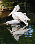 Pink-backed pelican photographed at the San Diego Wild Animal Park