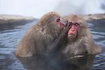 Japan, Japanese Alps, snow monkeys in hot spring
