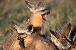 Bat-eared Fox family in Tanzania, Africa.