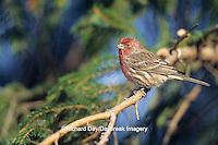 01643-00717 House Finch (Carpodacus mexicanus) male,  Marion Co.   IL