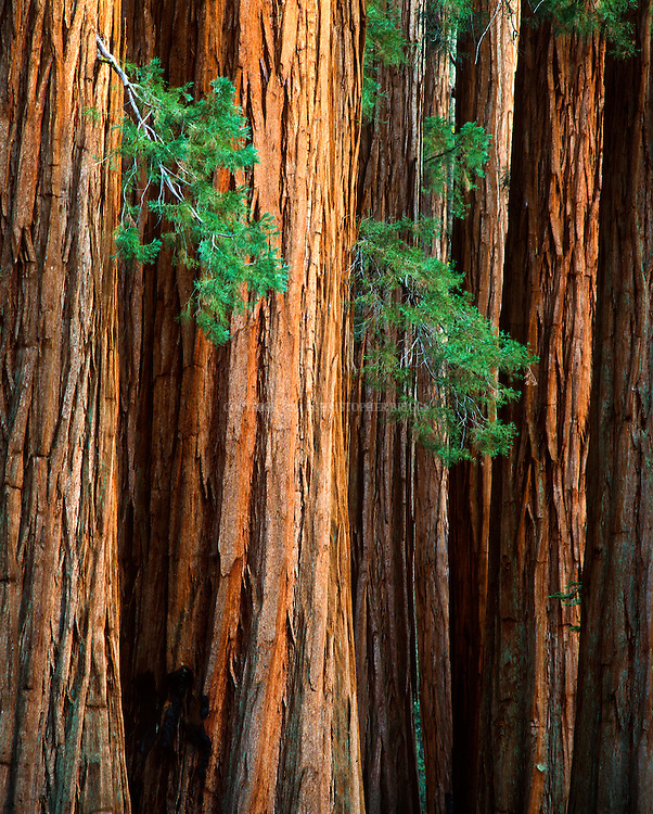 The House Group of Giant Sequoia trees (Sequoiadendron giganteum, Sierra redwood, Sierran redwood, or Wellingtonia). World's largest trees in terms of total volume; grow to avg. 160-279 ft (50–85m) tall and 20-26 ft (6–8) in diameter; record trees to 311 ft (94.8m) tall and over 56 ft (17m) in diameter. Sequoia National Park, est. 9/25/1890. 404,051 acres (1,635 km2). Giant sequoia forests are part of 202,430 acres (81,921 ha) of old-growth forests shared by Sequoia and Kings Canyon. National Parks. Thousands of trees cut in late 1800's. Sequoia trees splinter easily and found to be unsuitable for timber harvesting. Tulare County, CA.