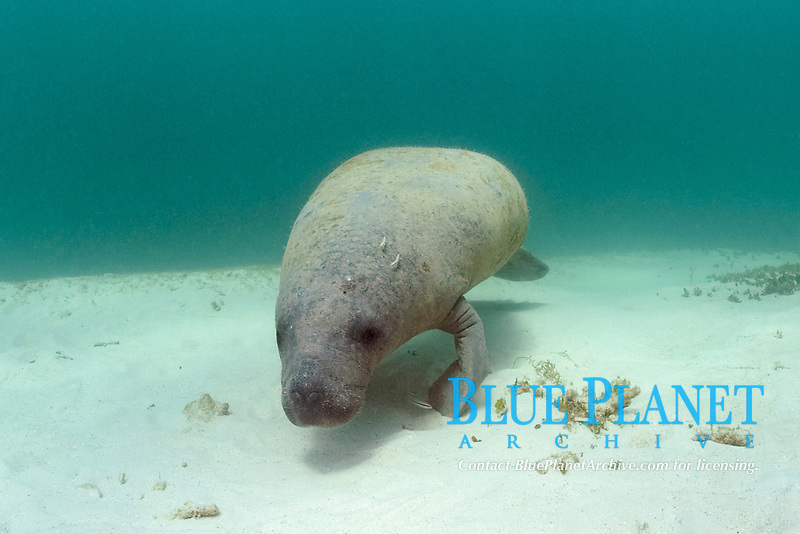 West Indian manatee or Antillean manatee, Trichechus manatus manatus, being cleaned by juvenile Slippery Dick wrasses, Halichoeres bivittatus, in pass on Belize Barrier Reef, Belize, Central America (Caribbean Sea) (do)