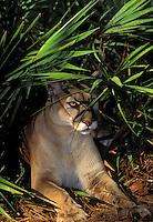 FLORIDA PANTHER and saw palmettos..Endangered Species. Florida..(Felis concolor coryi).