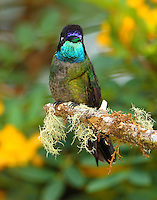 Male magnificent hummingbird