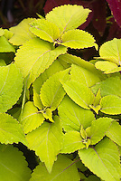 Solenostemon Stained Glassworks 'Big Blond' (Coleus), gold yellow leaved ornamental annual foliage plant, with red picotee edge