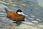 Ruddy Duck (Oxyura jamaicensis), male in breeding plumage, California, USA (Captive)
