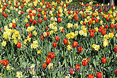 Luiz, FLOWERS, BLUMEN, FLORES, photos+++++,BRLH8999,#f#, EVERYDAY ,tulips ,allover