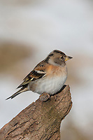 Bergfink, Berg-Fink im Schlichtkleid, Fringilla montifringilla, brambling, Pinson du Nord