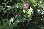 Foto: VidiPhoto<br /> <br /> DOORWERTH &ndash; Vrijwilliger Henny Tax uit Doorwerth tussen de woekerende Japanse duizendknoop in de bossen van zijn woonplaats. Tax geeft leiding aan de duizendknoopbrigade in Doorwerth. De planten, die andere vegetatie overwoekeren, worden met wortel en tak uitgegraven en door een gecertificeerd bedrijf gecomposteerd. Alleen al in Doorwerth zijn ruim 250 plaatsen waar de uitheemse plaagplant groeit.
