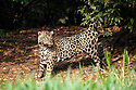Male jaguar (Panthera onca) spray / scent marking vegetation on the river bank. Cuiaba River, Northern Pantanal, Mato Grosso, Brazil.