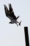 Osprey of Orange County