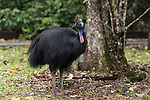 The Southern Cassowary, also known as the Double-wattled Cassowary (family Casuariidae), is native to the tropical forests of New Guinea, nearby islands and north eastern Australia. The name cassowary comes from the Malay name kesuari. The cassowary is the largest avian frugivore in the world. Cassowaries are striking in appearance, with a tall brown casque (helmet) on top of their head, a vibrant blue and purple neck, red wattles and glossy black plumage. The purpose of the casque is unknown and hypotheses include that it indicates dominance, protects the bird's head when running through the forests, or aids cassowaries in hearing the low vibrating sounds made by other cassowaries. They possess small vestigial 'wings' with 5-6 bare quills and a long claw at the tip of the wing.<br /> Southern cassowaries can grow to a height of 2 metres, with males weighing up to 55kg and females up to 76kg. Each leg has three claws, with the medial claw reaching up to 120mm in length! Cassowary chicks differ in appearance, with a striped brown and cream pattern. After 3-6 months, the stripes fade to the brown sub-adult plumage.  This is retained until 12-18 months of age after which the bird begins to take on adult characteristics. Maturity is reached at 3.5 years of age for females and 2.5 years for males.