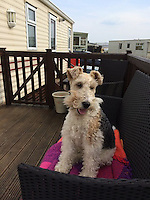 """COPY BY TOM BEDFORD MEDIA<br /> Pictured: Peppa, the dog before she got stung<br /> Re: A family's pet dog was left with horrific flesh wounds after being stung by a jellyfish.<br /> The six-year-old fox terrier called Peppa was attacked as she swam at a popular beach.<br /> She was left writhing in agony from an allergic reaction to the jellyfish venom. <br /> Owner Geraint Evans, 45, got the much-loved pet to a vet in time to save her life.<br /> Geraint said: """"Peppa was in a bad way and getting worse. <br /> """"We didn't know what it was at first but there were jellyfish on the sand.<br /> """"The vets say she encountered one in the water and was badly stung."""