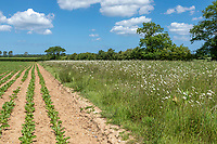Field margin with wild flowers - Norfolk, June