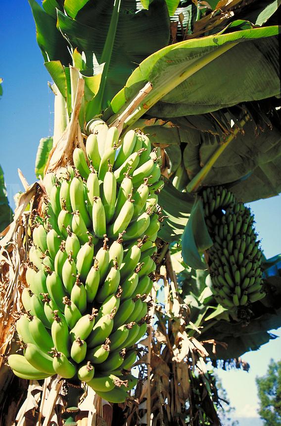Bananas growing on banana tree. fruit, food, crops, agriculture. Oahu Hawaii.
