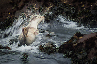 A Harbor seal pup is surprised by an incoming wave, or at least is forced to accommodate its sudden insurgence.