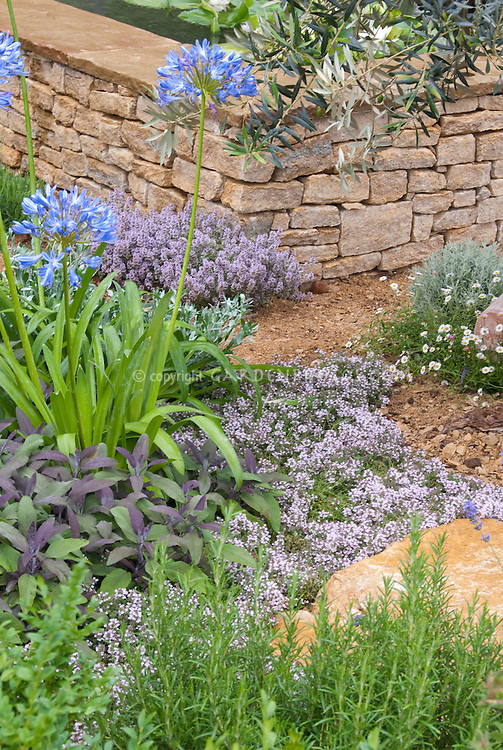 Thyme in bloom, culinary sage, blue flowers agapanthus, rosemary ornamental herbs in dry clay soil