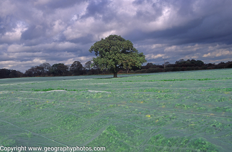 A088H6 Surreal English farming ladscape with crops covered by fleece netting Alderton Suffolk England