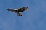Brazoria County, Damon, Texas; a northern harrier bird flying overhead against a clear blue sky in early morning sunlight