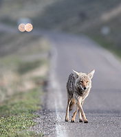 This coyote crossed the road to hunt for ground squirrels before ravens swooped in to try and steal its meal.