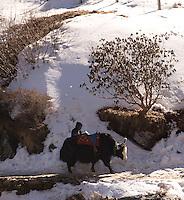 Yak ride in the Himalayas, near Nathu La, Sikkim, India