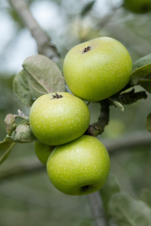 Apple 'Golden Pippin of Norfolk', mid September. An English dessert apple. Details of origin unknown.