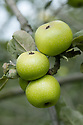 Apple 'Golden Pippin of Norfolk', mid September. An English dessert apple. Details of origin unknown.