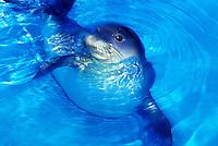 The endangered Hawaiian monk seal, latin name: monachus schauinslandi at Sea life Park