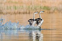 Western Grebe, Aechmophorus occidentalis,  a mating pair, performing their mating ritual where they rear up and patter across the water side by side, Lake Hodges, Escondido, California, USA