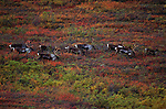A herd of caribou migrate across the Alaskan tundra in Denali National Park, Alaska.
