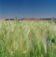 A landscape of wheat and wild flowers in northern Libya