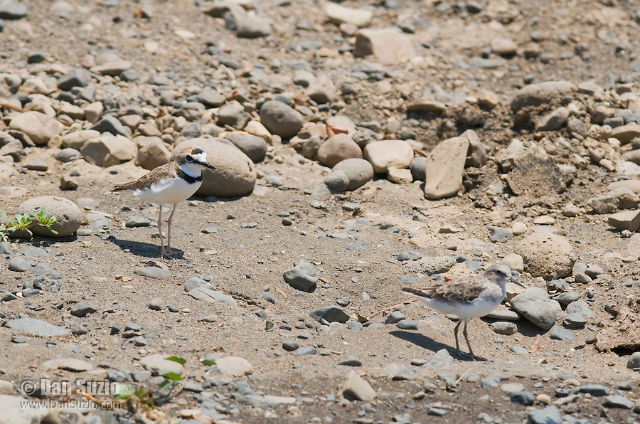 Collared plover, Charadrius collaris (left), and Least sandpiper, Calidris minutilla (right), on  the shore of the Tarcoles River, Costa Rica