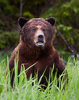Large male Grizzly Bear standing and watching from some tall grass